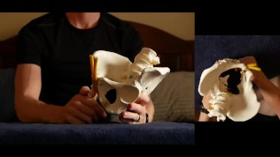 Penis Ligaments and Erection Angle: Prop demonstration stretching explained